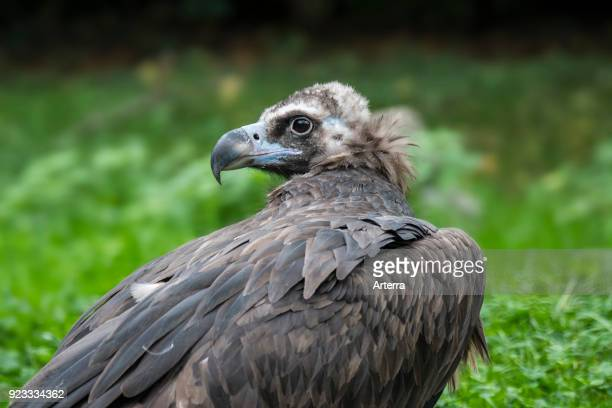 Cinereous vulture monk vulture Eurasian black vulture close up portrait