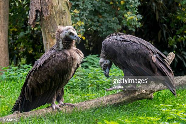 Cinereous vulture monk vulture Eurasian black vulture couple
