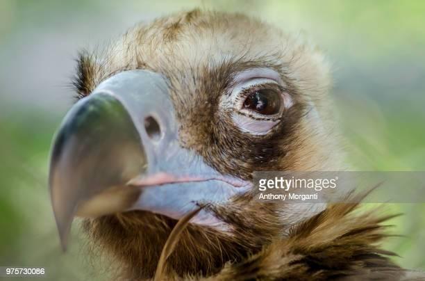 Cinereous Vulture (Aegypius monachus) portrait