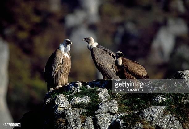 Cinereous vultures Black vultures or Monk vultures Accipitridae Cevennes National Park France
