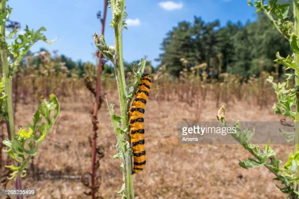 Cinnabar moth caterpillar feeding on leaves of common ragwort / tansy ragwort / St. James-wort in summer.