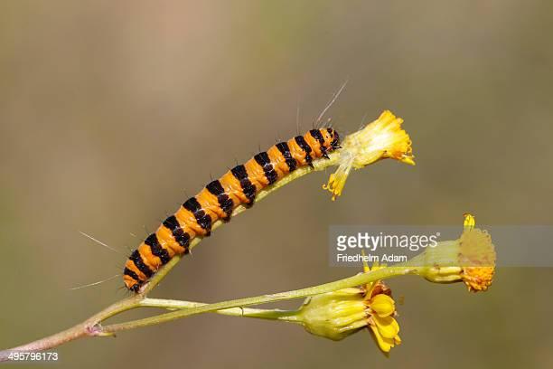 Cinnabar Moth -Tyria jacobaeae-, caterpillar feeding on yellow ragwort flowers -Senecio sp.-, Altenseelbach, Neunkirchen, North Rhine-Westphalia, Germany