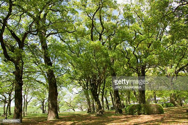 Cinnamomum Camphora Trees