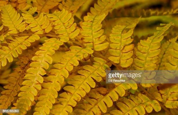 Cinnamon Fern (Osmunda cinnamomea) in fall color.