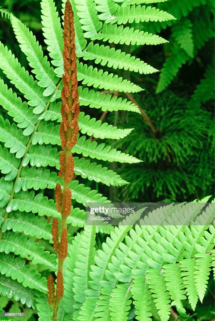 Cinnamon fern : Stock Photo