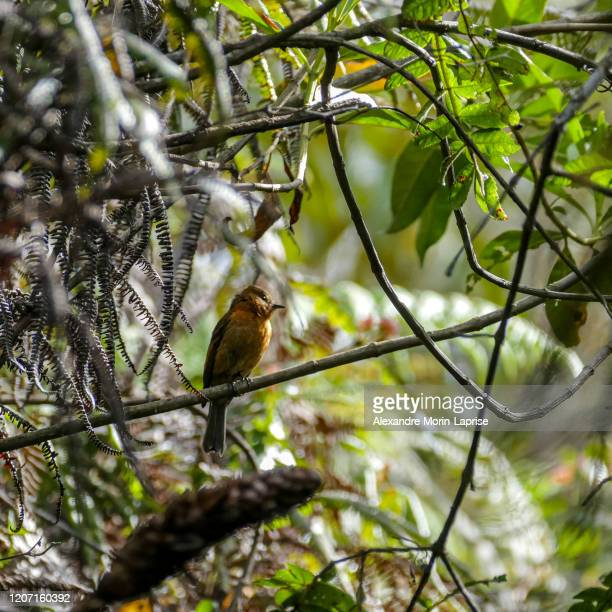 cinnamon flycatcher standing in a tree log in the protected natural area of belmira, antioquia / colombia - featherweight stock pictures, royalty-free photos & images