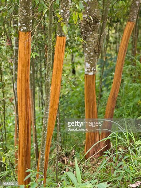 cinnamon árboles de - canelo fotografías e imágenes de stock