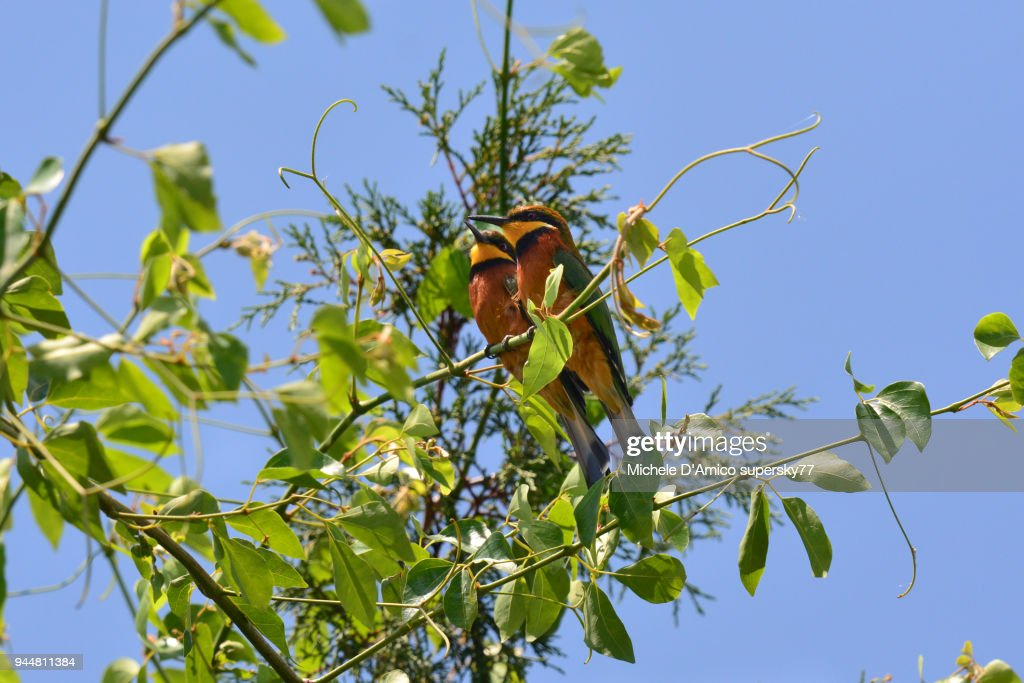 Cinnamon-chested Bee-eater (Merops oreobates) couple : Stock Photo
