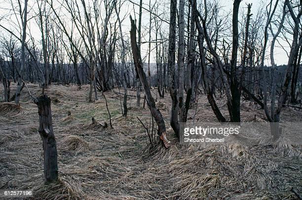 Cinovec, Czechoslovakia: Dead forest.