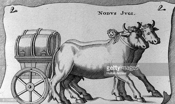 Circa 1500 A pair of oxen pulling a cart loaded with barrels