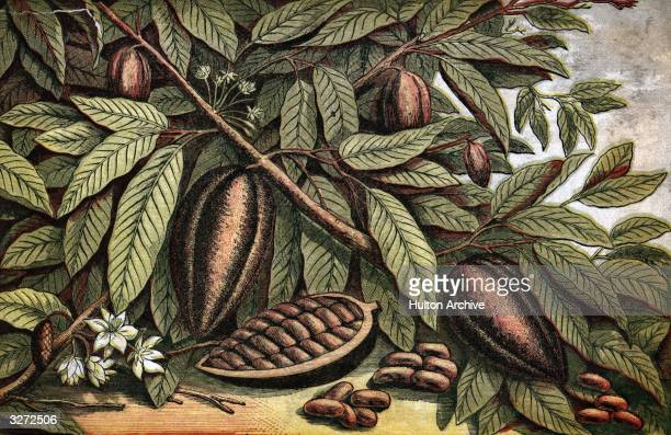 A branch carrying the fruit of the theobroma cocao