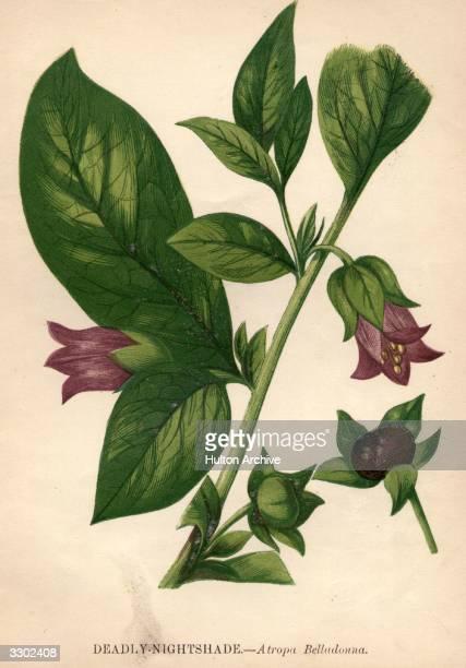 Atropa belladonna deadly nightshade