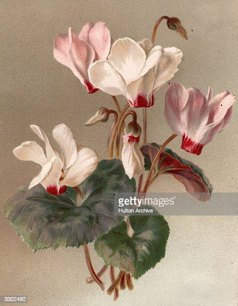 Flowers of the cyclamen family