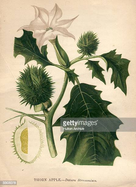 The thorn apple or datura stramonium