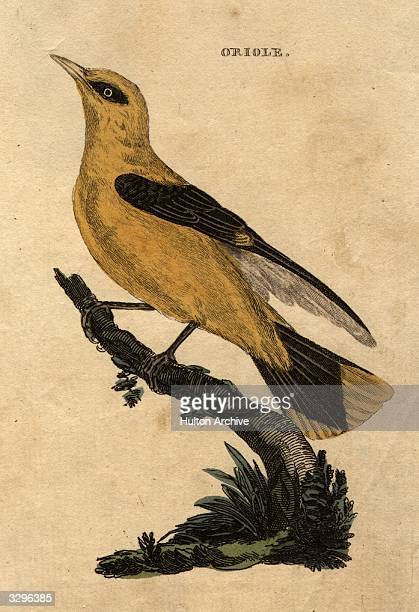 A golden Oriole a yellow bird with black wings related to the crow family