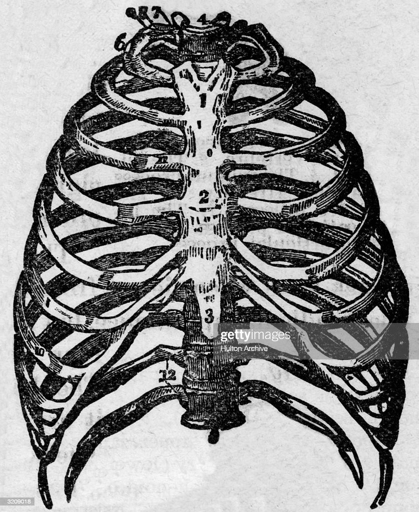 Anatomical Diagram Of The Human Ribcage From An Early Medical