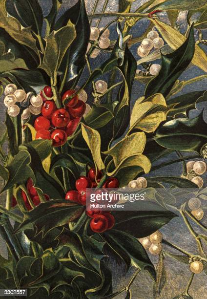 Holly berries and mistletoe Leighton Brothers