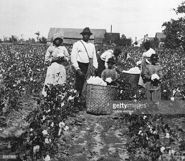 African American men women and children pick cotton in a cotton field and place it in straw bushel baskets 1890s