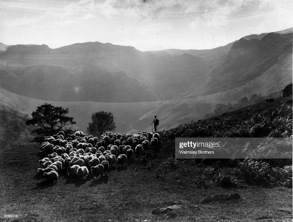 A shepherd herding his sheep through Langdale valley in Cumberland.