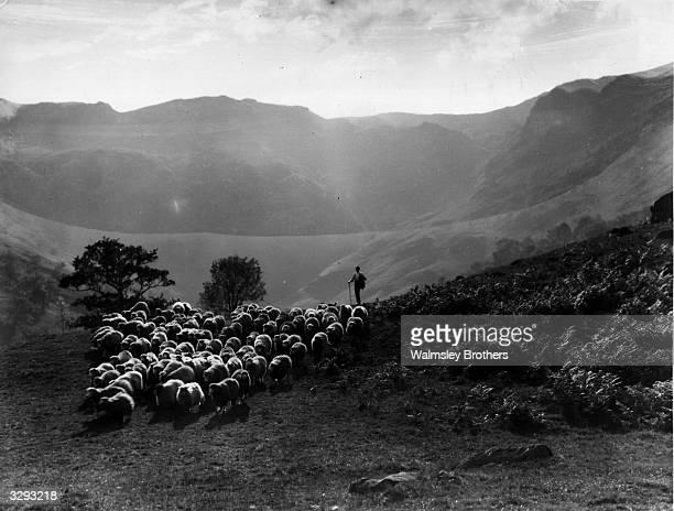 A shepherd herding his sheep through Langdale valley in Cumberland