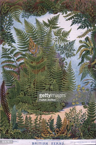 A variety of species of British fern Original Publication The Boy's Own Paper