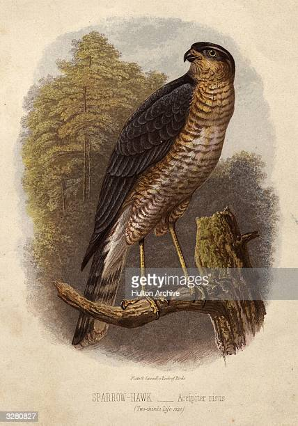 Accipiter nisus the sparrow hawk Cassel's Book of Birds