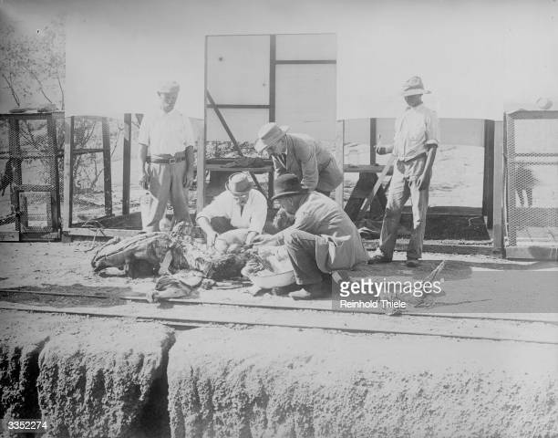 Dr Koch holding a postmortem on an ox which died of rinderpest at Kimberley