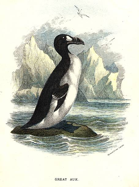 The Great Auk, a short-winged seabird of the Alcidae...
