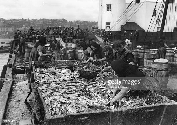 Scottish women gutting herrings at Scarborough harbour Thousands of women travel from Scotland to Great Yarmouth to process the catch during the...