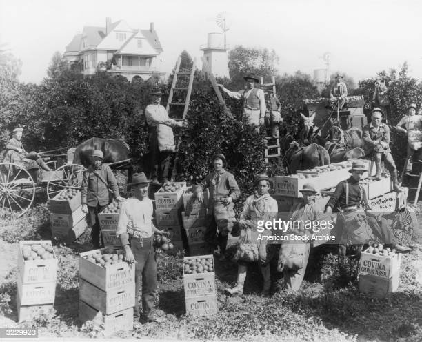 A group of fruit pickers from the Covina Citrus Association stand in an orange grove Southern California