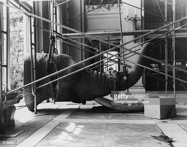 The head of an elephant is suspended by rope and scaffolding, as it is restored to American inventor and industrialist George Eastman's conservatory....