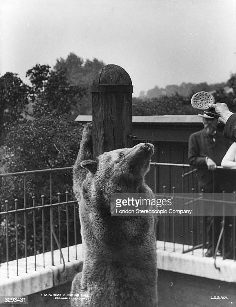 A bear climbs a pole at London Zoo whilst eyeing a biscuit proffered by a zoo keeper London Stereoscopic Photographic Company 707