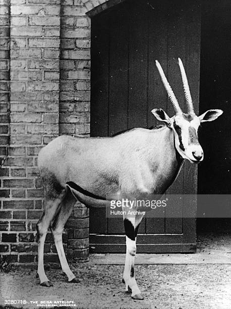 A Beisa antelope at London Zoo in Regents Park