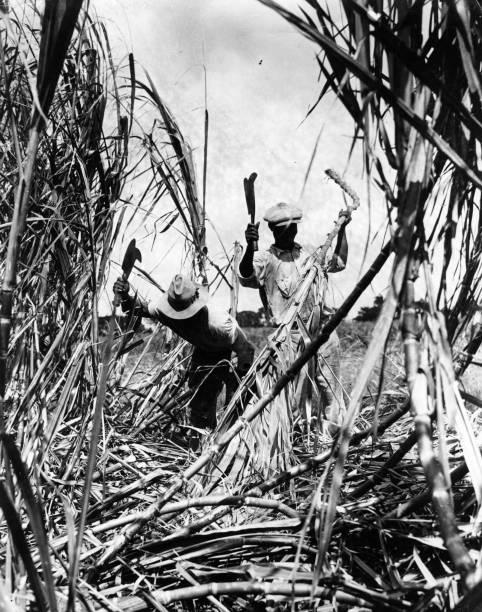 Sugar Cane Harvest Wall Art