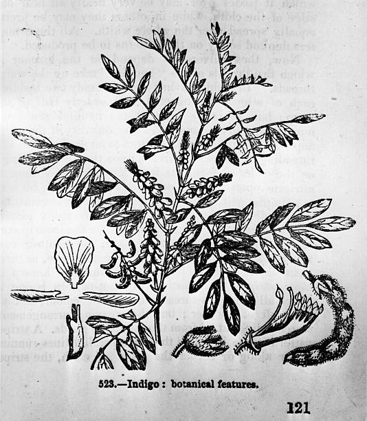A drawing of the plant of genus Indigofera which provides...