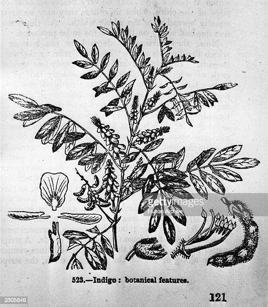 A drawing of the plant of genus Indigofera which provides the basis of a colour between blue and violet dye