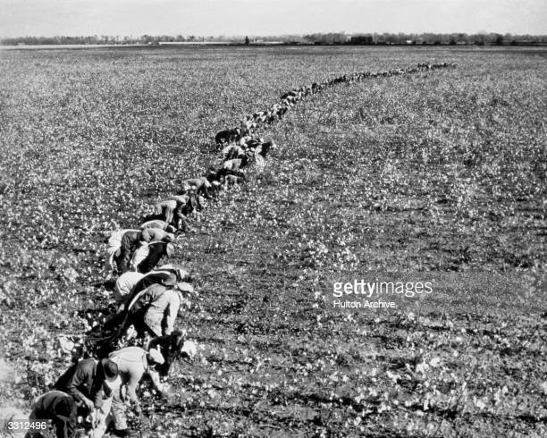 Cotton pickers harvesting the crop on a plantation in Mississippi