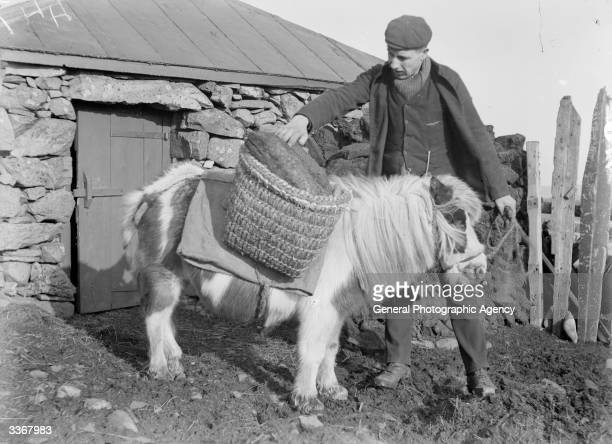 A Shetland Pony carrying logs in woven paniers The Shetland is the smallest pony native to Great Britain and may have travelled from Scandinavian ice...