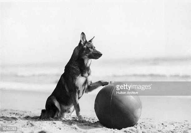Portrait of animal star Rin Tin Tin who was rescued from a German trench during WWI by an American soldier sitting on a beach with his paw on a beach...