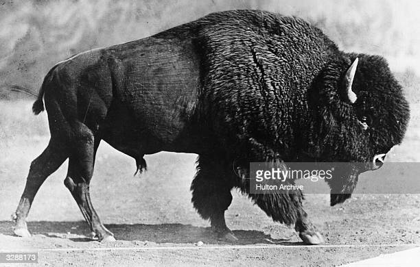 An American bison