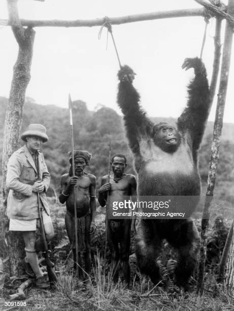 Captain A Gatti and two pygmies with a 500lb gorilla strung from a pole, which the captain shot in the Tchibinda forest in the Lake Kivu region,...