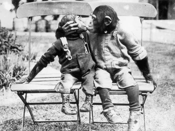 Fully dressed chimpanzees sit on chairs and kiss.