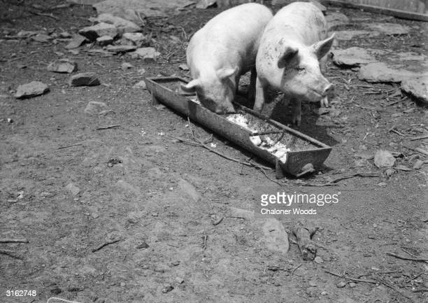 Two pigs eating swill from a farmyard trough.