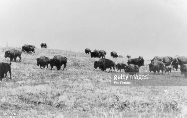 A herd of wild bison
