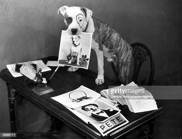 Pete the Pup known all over the world through his film work in Hollywood comedies especially the 'Our Gang' series At the height of his career Pete...