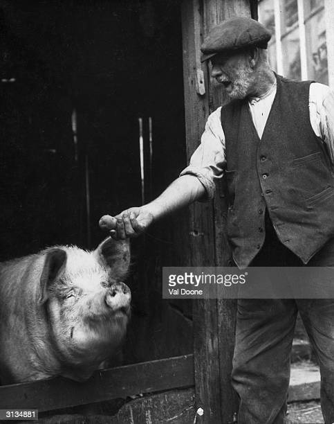 A bearded farmer tempts a large pig with an offer of a potato