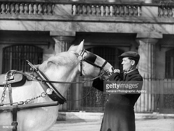 A harnessed and blinkered carthorse nuzzles his driver looking for a titbit