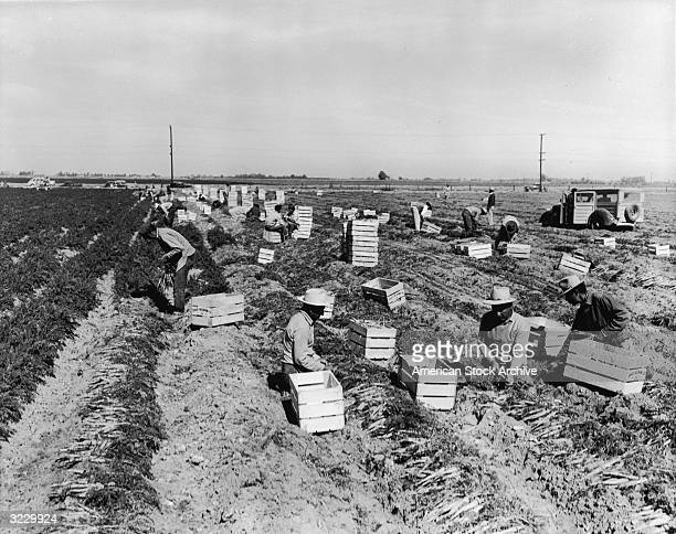 Male workers kneeling down amongst crates in a field picking carrots Imperial Valley California