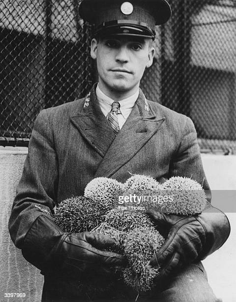 A zoo keeper at Whipsnade Zoo Bedfordshire clutches an armful of hedgehogs