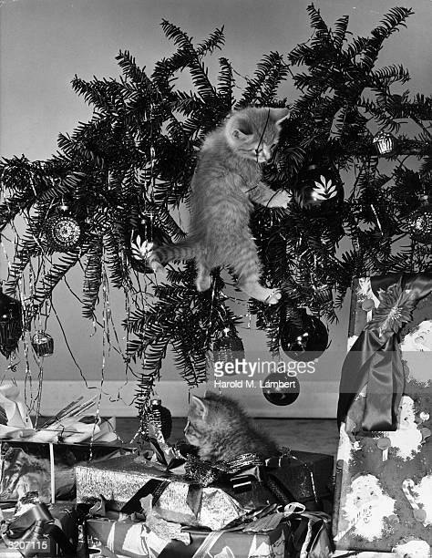 A kitten hangs from a fallen Christmas tree while another sits in the wrapping of the presents below